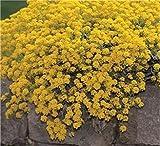 SeeKay Alyssum Montanum Mountain Gold - Appx 300 seeds - Perennial