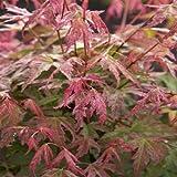 Acer palmatum Phoenix - 1 tree