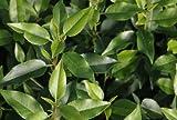Prunus lusitanica 'Angustifolia' 28 cm Pot Size