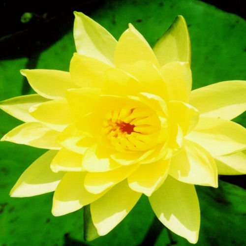 Hughes Water Gardens Yellow Hardy Waterlily (2 Plants)