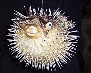 Huge puffer porcupine real blowfish fish for Amazon puffer fish
