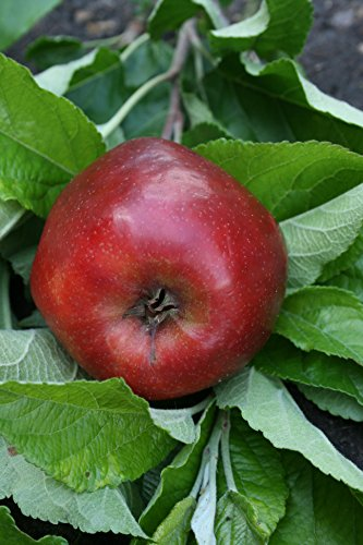 red-delicious-apple-tree-miniature-fruit-tree-for-pots-or-small-gardens