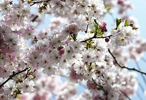 Fototapete, National Geographic Spring, 368x254cm, 8teilig, japanische Kirschblüte im Frühling, bester Druck, deutsches Qualitätsprodukt  BaumarktÜberprüfung und Beschreibung