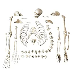 Anatomical Chart Co. Full Disarticulated Budget Skeleton With Skull Item #: CHA5/1