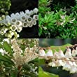 Grow Your Secret Garden Lily of the Valley Seeds