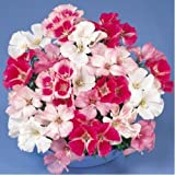 Flora Fields Clarkia (Godetia, Satin Flower) - Delight Mix