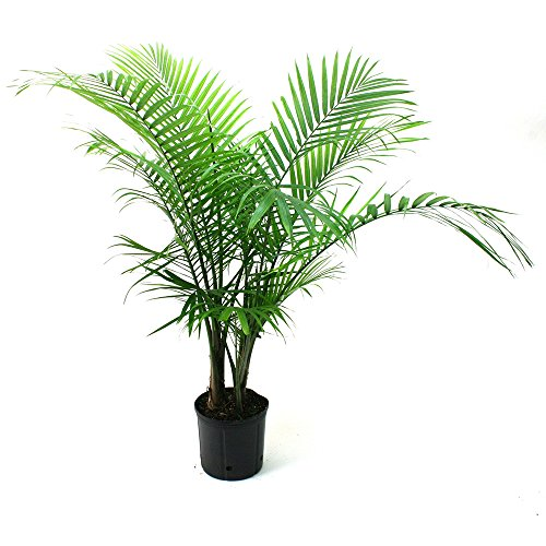 delray-plants-majesty-palm-in-pot