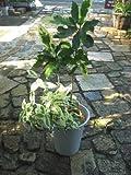 観葉植物 【希少・珍種】クロトン タマラとシッサスヘンリアーナ寄せ植え 6号サイズ プラ鉢 小型