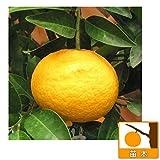 甘夏(アマナツ)みかん4~5号ポット[3月中旬~4月上旬収穫 柑橘・かんきつ類苗木]