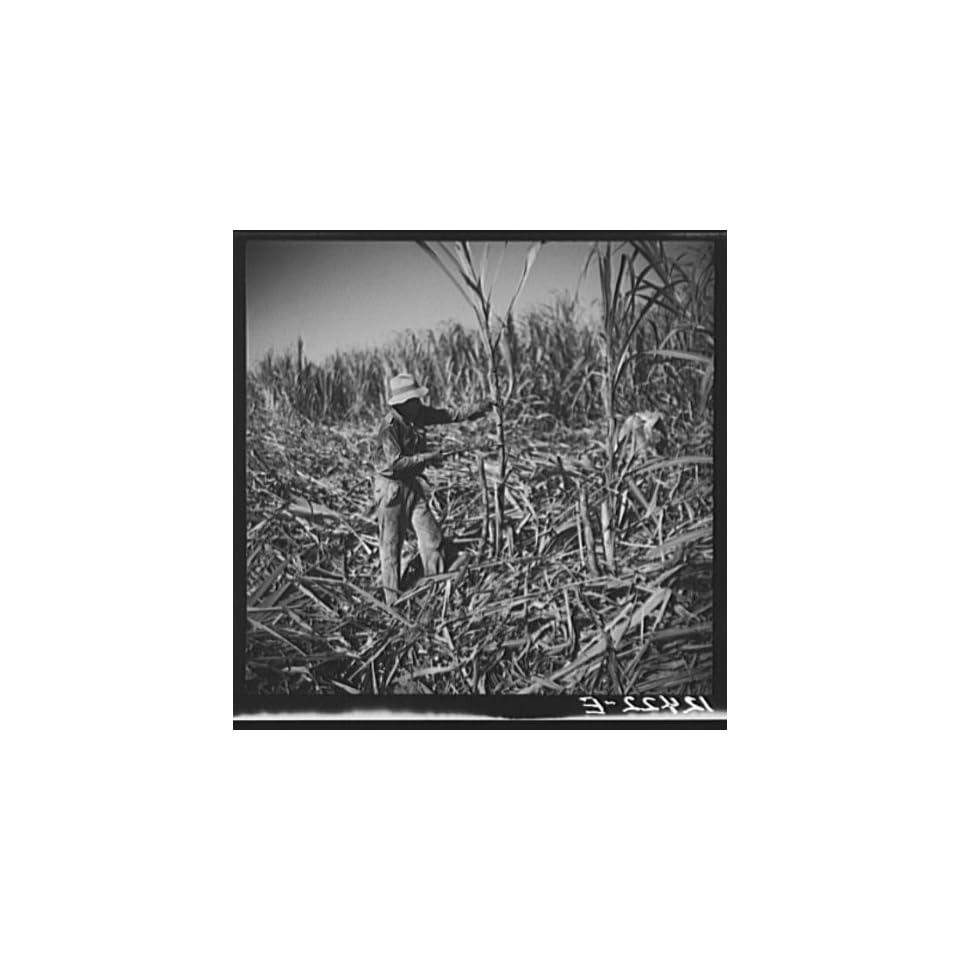 Photo Cutting sugar cane. Near Ponce,Puerto Rico 1