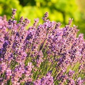 lichtnelke lavendel lavandula angustifolia pink hidcote. Black Bedroom Furniture Sets. Home Design Ideas
