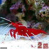 (海水魚 エビ)ホワイトソックスシュリンプ ミックスサイズ(2匹) 本州・四国限定[生体]
