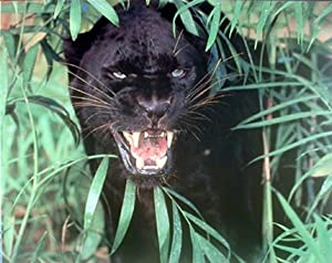 Amazon Com Wild Black Panther Scary Leopard Jaguar
