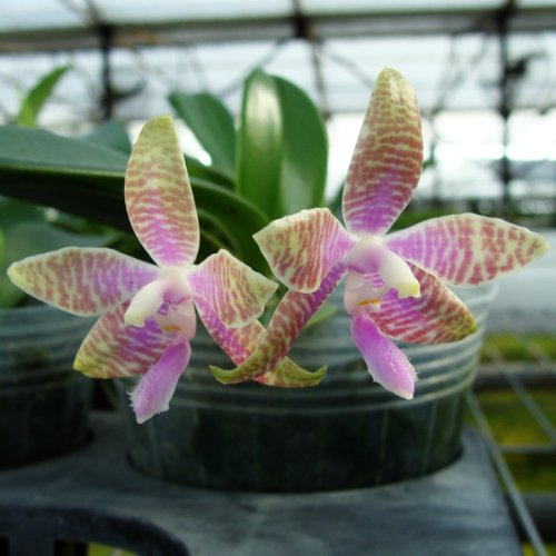 PS01 Orchid Plant Phalaenopsis hieroglyphica Mounted