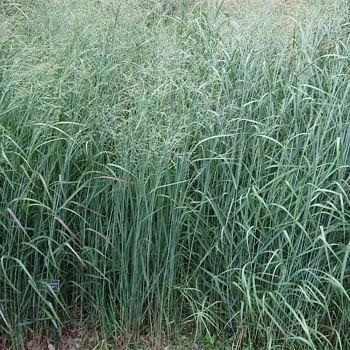 Swicthgrass