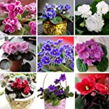 Mr.seeds 100 pcs 24 colors, purple beans, African violet seeds, garden plants, potted purple flowers, perennial herbs M Atthiola Incana seed.
