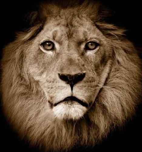 Animal Wall Decals Lion Portrait - 24 Inches X 22 Inches - Peel And Stick Removable Graphic front-790812