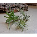 Mini Tillandsia Assortment 3 Pack Air Plants by CTS Air Plants