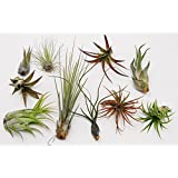 CTSairplants 10 Pack Assorted Tillandsia-Easy Care Collection/Varieties