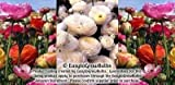 Ranunculus - Tecolote: Pastel Lace Collection - 30 x-large bulbs - 8+ cm