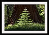 Baby Redwood Tree in front of parent, Redwood Forest, Yosemite, California Photographic Print with Black Frame