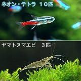 (熱帯魚)ネオンテトラ(10匹) +ヤマトヌマエビ(3匹) 本州・四国限定[生体]