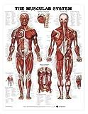 Human Muscular System Anatomical Chart Laminated