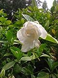 Chuck Hayes Gardenia,intense Fragrance, Evergreen Shrub, Cold Hardy (Liner/starter), Hydrangeas Shrub, Evergreens, Gardenia