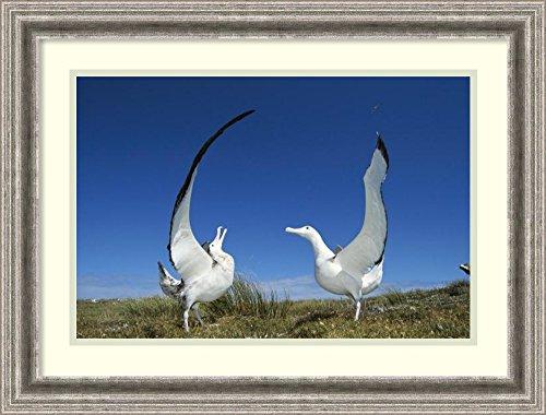 framed-art-print-gibsons-wandering-albatross-courtship-display-adams-island-aucklands-group-new-zeal