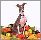Excellent Italian Greyhound (TG303CD)