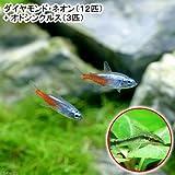 (熱帯魚)ダイヤモンド・ネオン(12匹) + オトシンクルス(3匹) 本州・四国限定[生体]