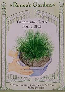Ornamental grass spiky blue seeds grass for Spiky ornamental grass