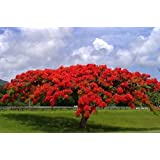 Flamboyant Flame Tree, Delonix Regia, Royal Ponciana 20 Seeds