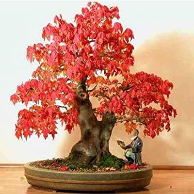 Red Maple - Acer Rubrum - 1 Pkt of 25 seeds - Ornamental Tree - Bonsai