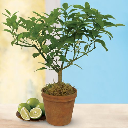 Prelit Art Christmas Trees - Harry &amp; David Key Lime Patio Tree