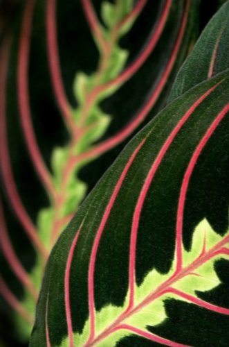 hirts-red-prayer-plant-maranta-easy-to-grow-house-plant-4-pot-by-hirts-gardens