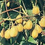 KIWI FRUIT / ACTINIDIA CHINENSIS 10 seeds