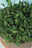 Suffolk Herbs Pictorial Pack - Salad Leaves - Spinach Reddy F1 - 100 Seed