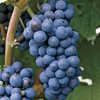 Heirloom Concord Grape Certified 10 Seeds #32009 Item UPC#637632549050 (Heirloom Grape Seeds compare prices)