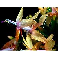 Hirt's Rare Yellow Christmas Cactus Plant - 8