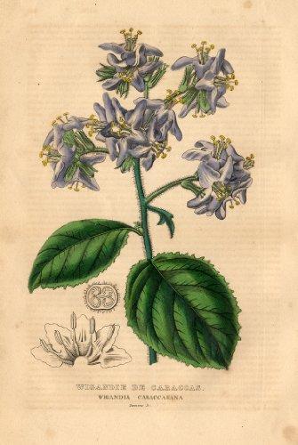 theprintscollector-antique-botanical-print-caracus-wigandia-drapiez-1853