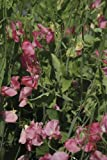 Just Seed - Flower - Sweet Pea - Spencer Type - Mrs Bolton - 50 Seeds