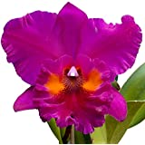 Orchid-Tree Cattleya Orchid Plant Purple Colour Flowers (Pot Included)
