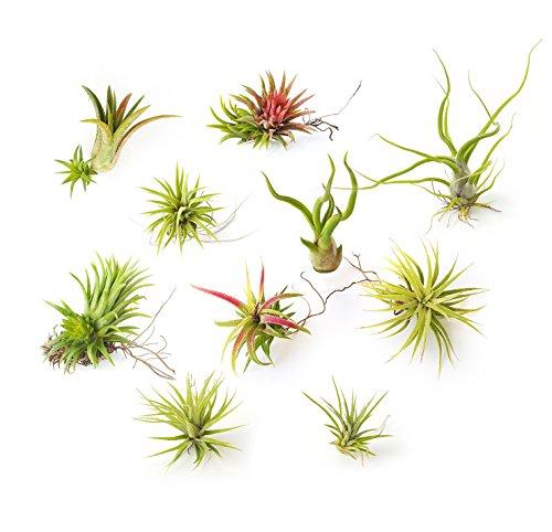 The Drunken Gnome Small Air Plants 10 Pack Assorted Tillandsia Live Easy Houseplants for Indoor Garden Office or Terrarium Choose Small Medium Large or X-Large airplants (Air Plant In Pot compare prices)