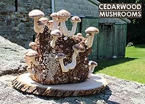 Amazon.com : The Shiitake Mushroom Kit - Indoor Mushroom