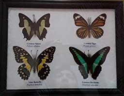 REAL 4 MIX BUTTERFLIES Collection Taxidermy Framed