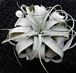 Hinterland Trading Air Plant Xerographica Huge !! King of Air Plants Beautiful Bromelaid Stunning Houseplant