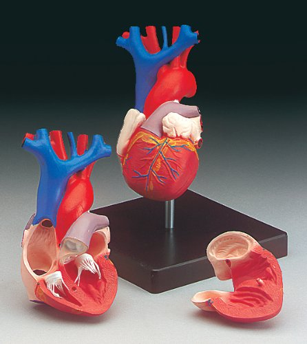Anatomical Chart Co. Budget Life-Size Heart Model-CH7 (Medical Models compare prices)