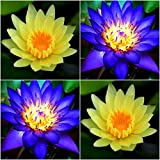 (Combo Of 2 Colors) Floral Treasure YELLOW & BLUE Lotus Seeds - Pack Of 10