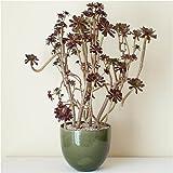solxsol 多肉植物 living plants(大型)-黒法師- 器のサイズ:幅220×奥行220×高さ200(mm) 11488